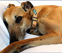 Beyond-Medicine-ET-healing-animals-dieren-greyhound